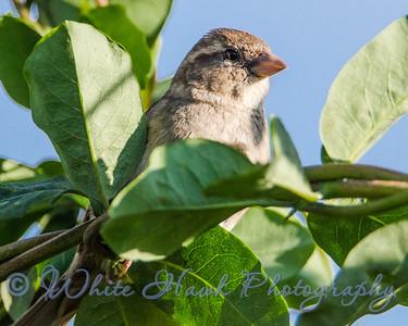 2016-05-20 - Fox Sparrow, Juvenile