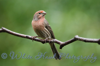 2016-11-26 - House Finch, male