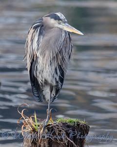 2016-11-06 Blue Heron