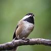 2016-11-24 - Black-capped Chickadee