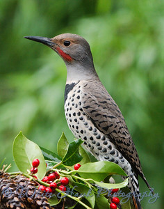 2016-11-05 - Northern Flicker