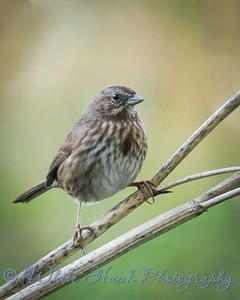 2016-10-02 - Song Sparrow