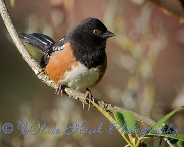 2016-10-19 - Spotted Towhee