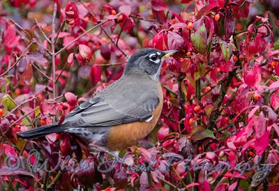 2016-10-18 - American Robin