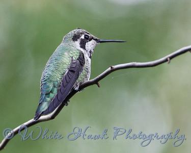 2016-10-11 - Anna's Hummingbird