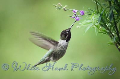 2016-10-06 - Anna's Hummingbird