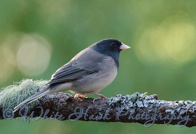2016-09-14 - Dark-Eyed Junco
