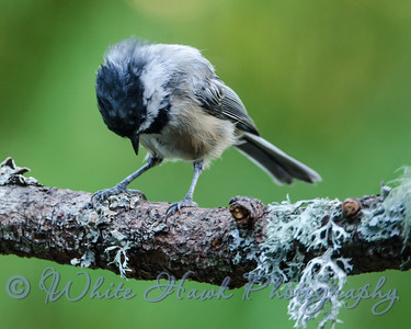 2016-09-08 - Black-capped Chickadee