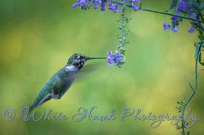 2016-09-22 - Anna's Hummingbird