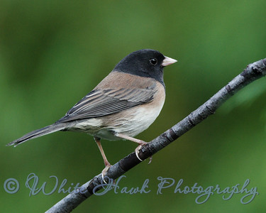 2016-09-30 - Dark-Eyed Junco