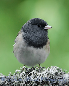 2016-09-09 - Dark-Eyed Junco