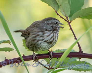 2016-09-03 - Song Sparrow