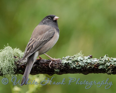 2016-09-02 - Dark-Eyed Junco