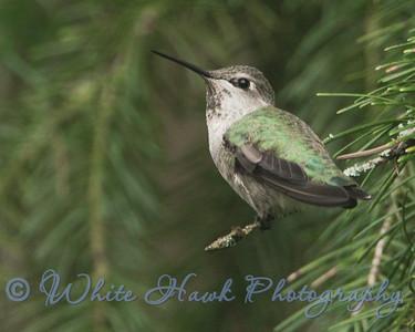 2016-09-17 - Anna's Hummingbird