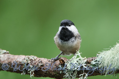 2016-09-19 Black-capped Chickadee