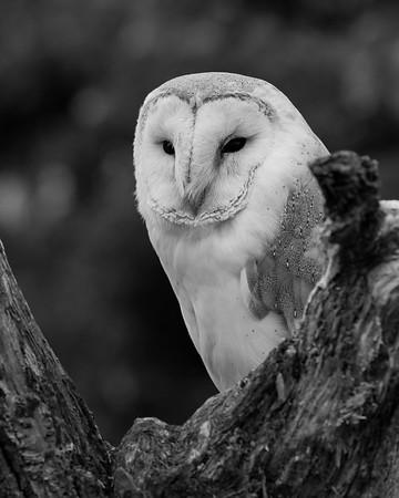 Barn Owl