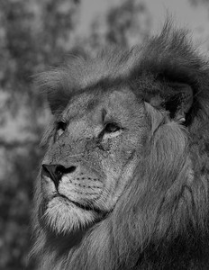 African Lion