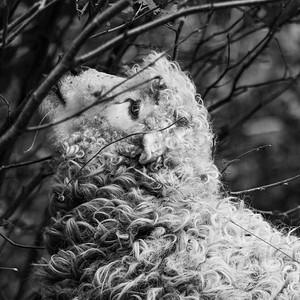 Greyface Dartmoor Sheep