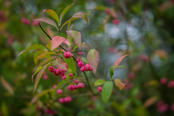 Spindle tree berrries