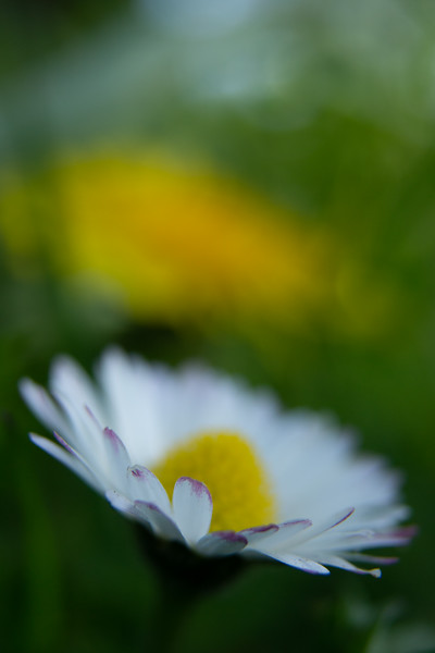 Daisy and Dandelion