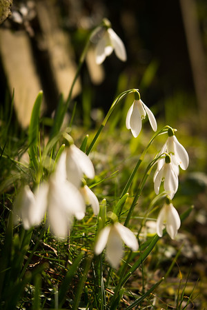 Snowdrops in the sun