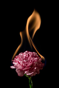 Carnation flower on fire