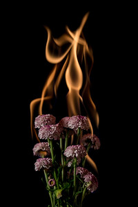 chrysanthemum flower on fire