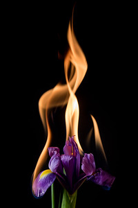 iris flower on fire