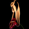 anthurium flower on fire