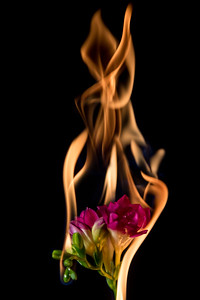 freesia flower on fire