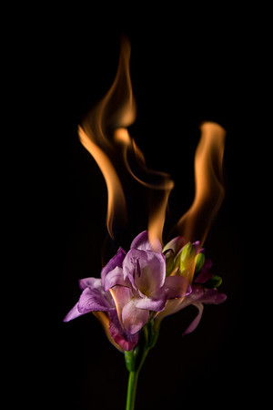 purple freesia on fire