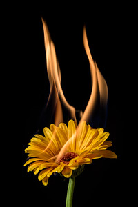 yellow gerbera on fire