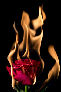 rose on fire