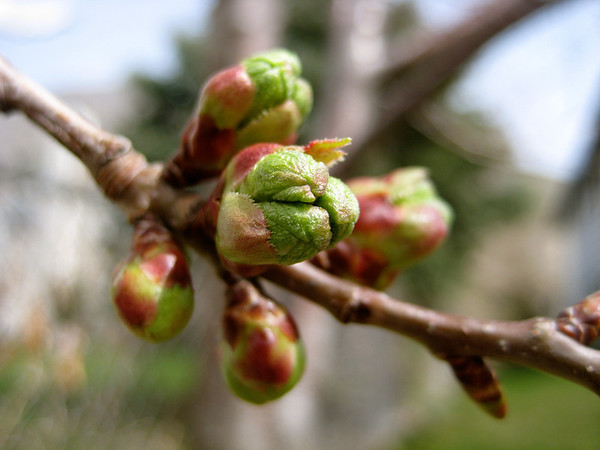 Budding Apple