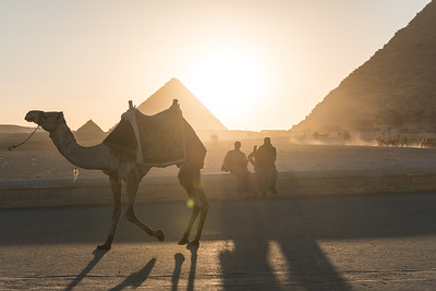 Camel racing past Pyramids of Giza