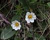 Wildflowers at Gullfoss.