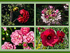 "M08 August<br /> <br /> A composite of flowers that were blooming at some time during the month.  The frames are, clockwise from upper left:  dahlia, cleome, hibiscus, fairy rose.  The full frame versions, in the same order, are here: dahlia ( <a href=""http://smu.gs/1b7OvIS"">http://smu.gs/1b7OvIS</a>  ) ; cleome ( <a href=""http://smu.gs/1j8VR8Y"">http://smu.gs/1j8VR8Y</a>  ) ; hibiscus ( <a href=""http://smu.gs/12pasTJ"">http://smu.gs/12pasTJ</a> ) ; fairy rose ( <a href=""http://smu.gs/1bQWi2m"">http://smu.gs/1bQWi2m</a>  )"