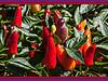 "M09 September<br /> <br /> Original caption and location:  <a href=""http://smu.gs/1b7PCs4"">http://smu.gs/1b7PCs4</a><br /> D261-2013  Ornamental chili peppers<br /> <br /> Gazebo Gardens, Hidden Lake Gardens, Michigan<br /> September 18, 2013"
