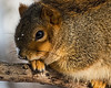 T01-02 January<br /> <br /> Patience isn't a trait associated with squirrels.  I think that's why this one's air of seeming resignation appealed to me.<br /> <br /> DP03x-2013<br /> <br /> Fox squirrel, Sciurus niger.  The most common squirrel around these parts.  Also the largest and most enterprising when it comes to trying to get onto and even into our bird feeders.  This one was on a branch of an oak tree that stands 15-20 feet off the rear deck on the top floor (or three floors) of the house, waiting for me to leave the premises.  Earlier it had been displaying and scolding me, but it soon saw that had no effect.<br /> <br /> January 27, 2013