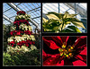 M12 December<br /> <br /> A composite of shots taken of the Christmas decorations at the conservatory of the Matthaei Botanical Gardens.