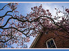 "M04 April<br /> <br /> Original caption and location:  <a href=""http://smu.gs/1fvKsLp"">http://smu.gs/1fvKsLp</a><br /> D122-2013 Saucer magnolia<br /> Revisiting the tree in 'Blizzard of Buds' DP119-2013, now that it is in full bloom<br /> <br /> DP123-2013  Posted May 3; processed ditto<br /> .<br /> Forest Hill Cemetery, Ann Arbor<br /> May 2, 2013"