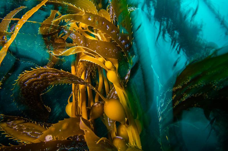 Giant kelp (Macrocystis pyrifera) Monterey, CA.