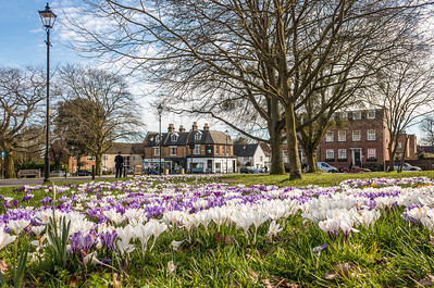 Winchmore Hill Green Crocuses
