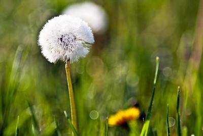 Dandelion Masterpiece