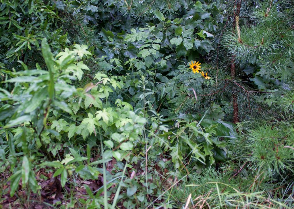A Spot of Yellow: Black Eyed Susan