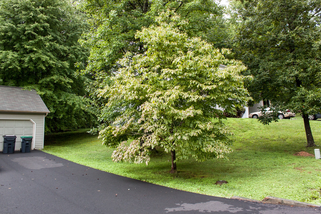 My Favorite Dogwood Tree