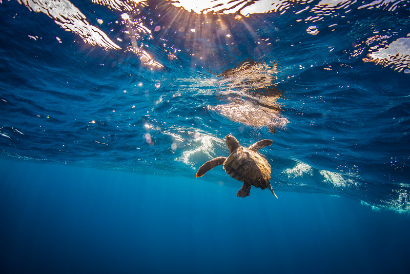 San Diego, Ca. 2015: A juvenile loggerhead comes to the surface to breathe.