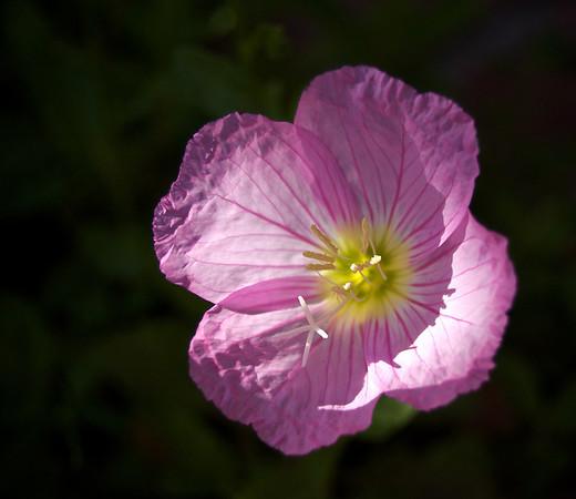 Petals in the Sun