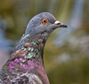 Feral Pigeon, Nagasaki