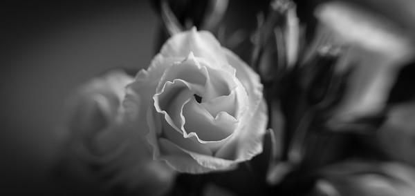 70 (365) Rose